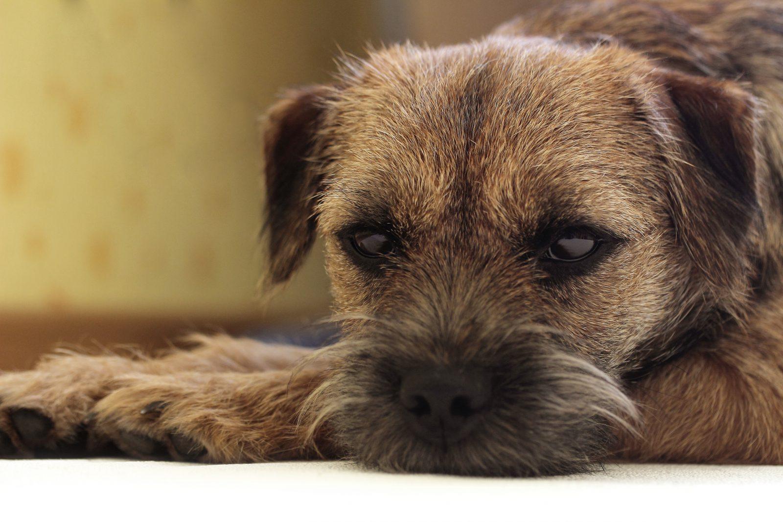 """Cachorros de porte pequeno: Border Terrier com sua carinha de """"bad boy""""."""