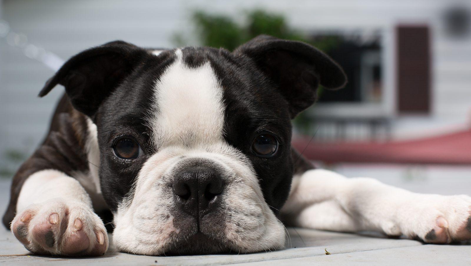 Cachorros de pequeno porte:  Boston Terrier deitado descansando em raro momento de tranquilidade.
