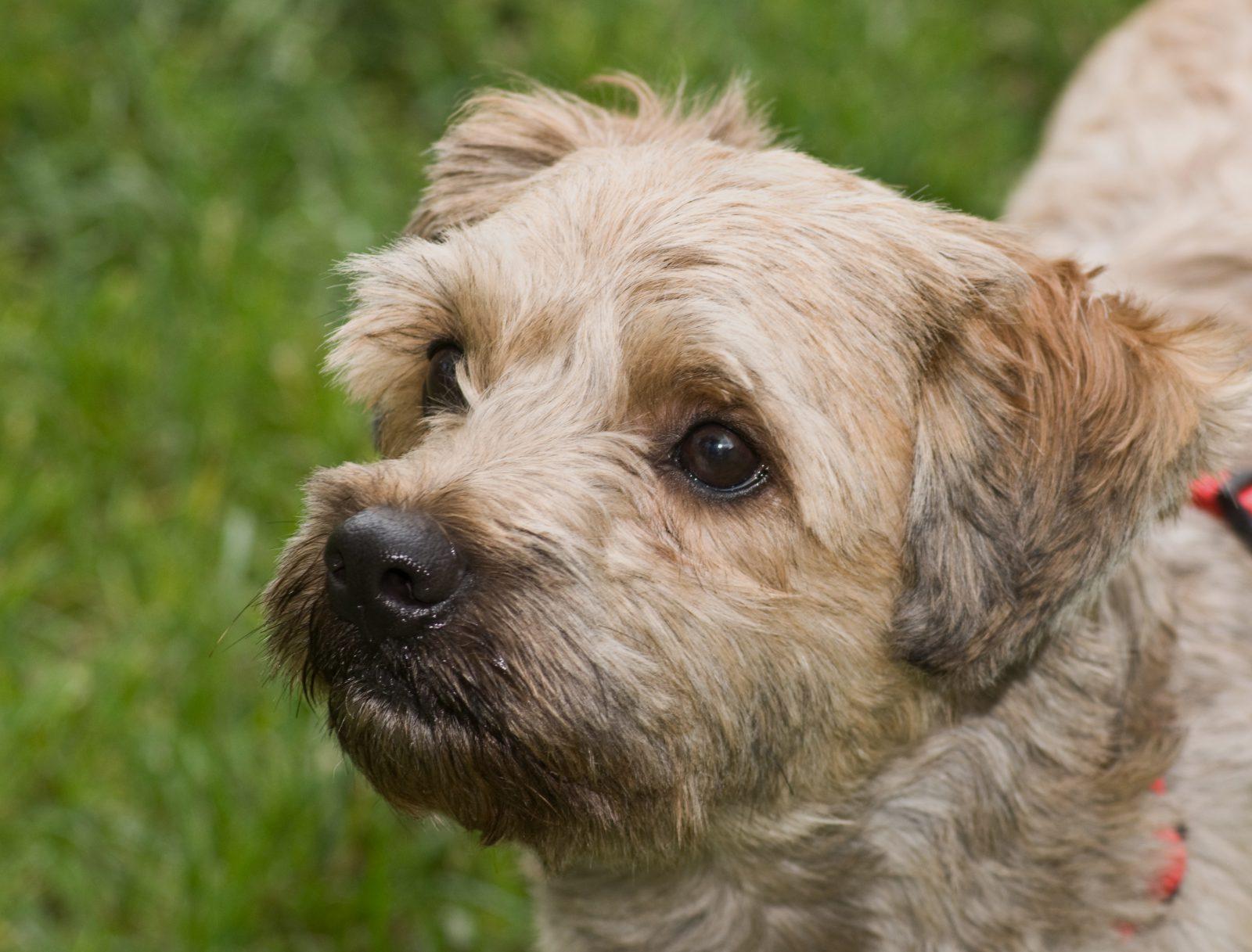 Cachorros de pequeno porte: Cairn Terrier fazendo carinha dócil no jardim.