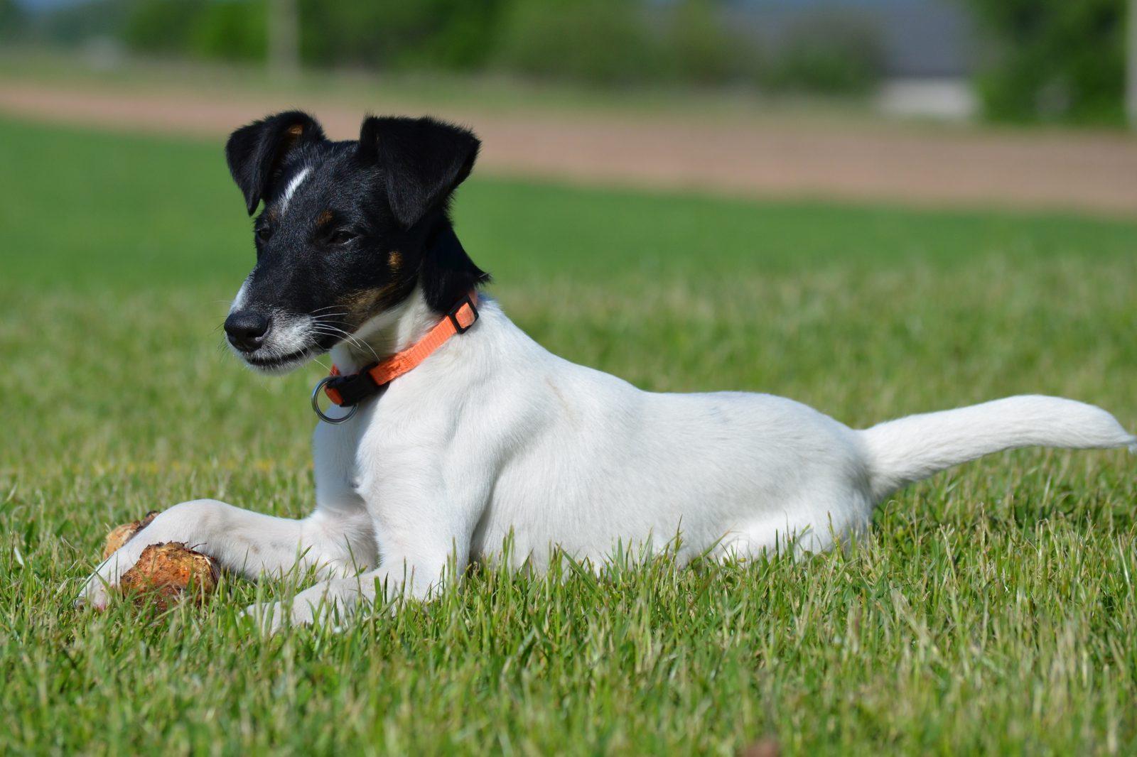 Cachorros de pequeno porte: Fox Terrier jogando bolinha no jardim.