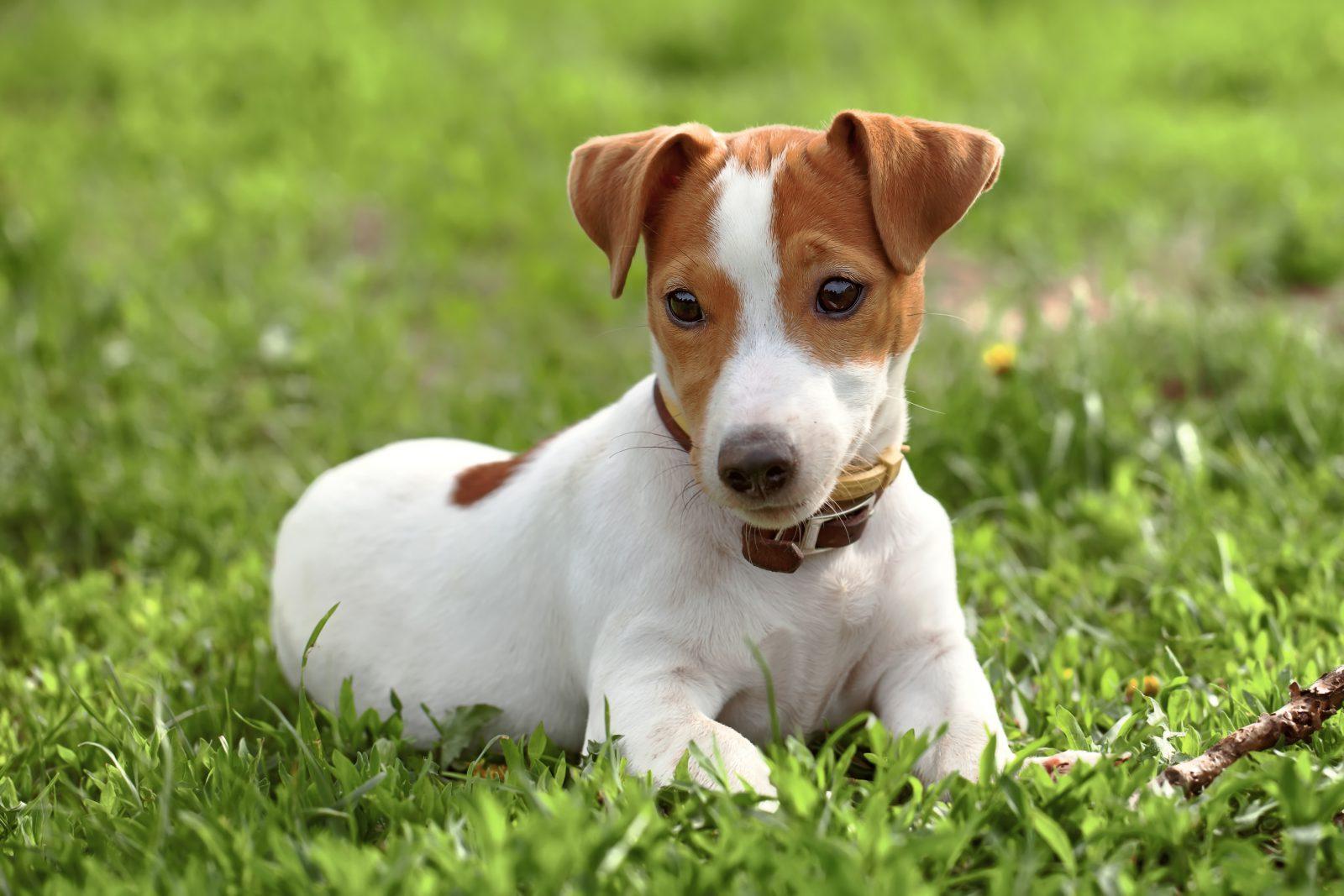 Cachorros de pequeno porte: Jack Russel Terrier deitado na grama do jardim.