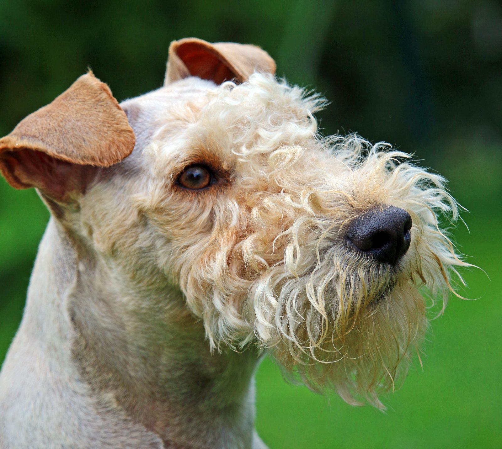 Cachorros de pequeno porte: Lakeland Terrier com sua face característica no gramado do jardim.