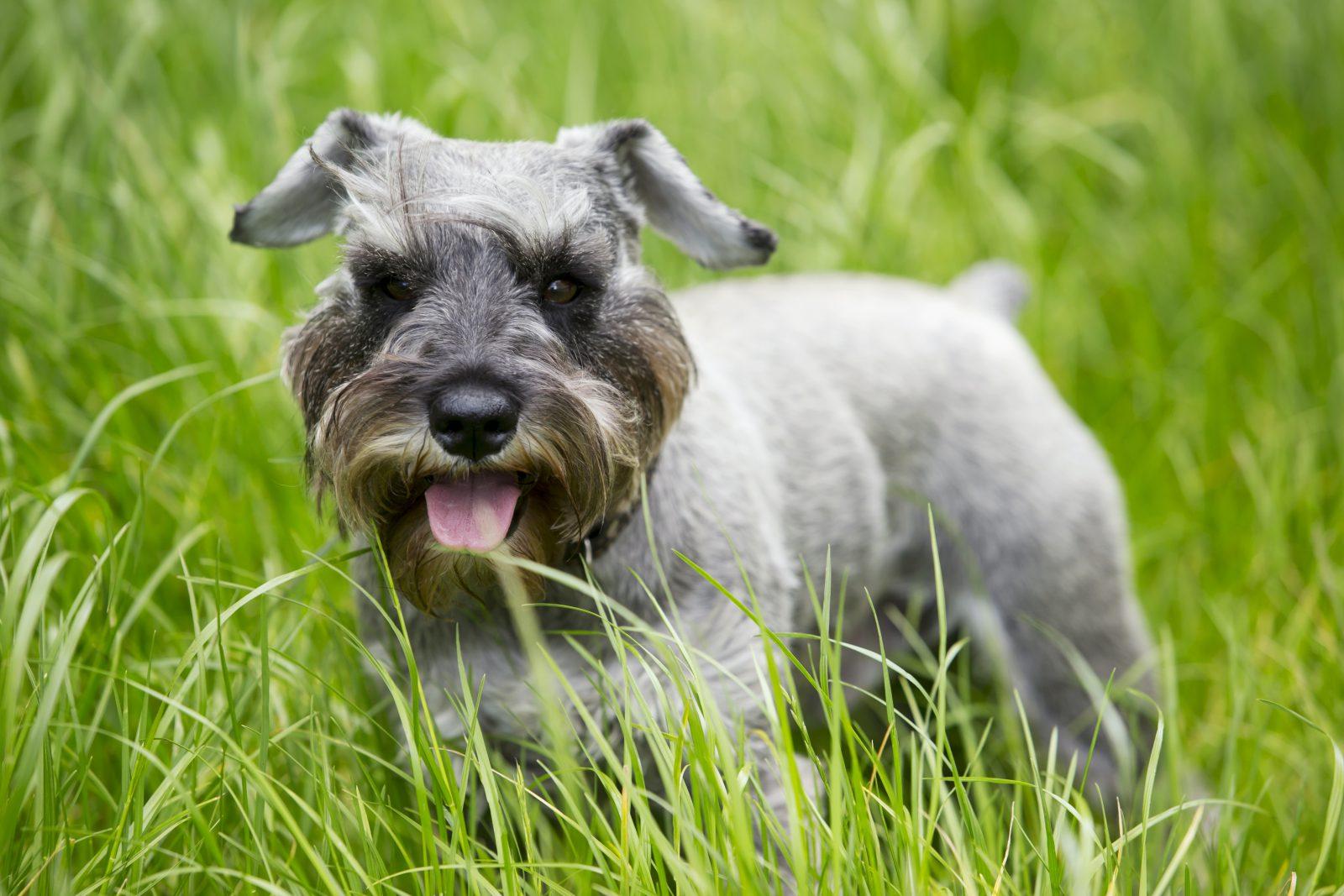 Cachorros de pequeno porte: Mini Schnauzer filhote no gramado do jardim.