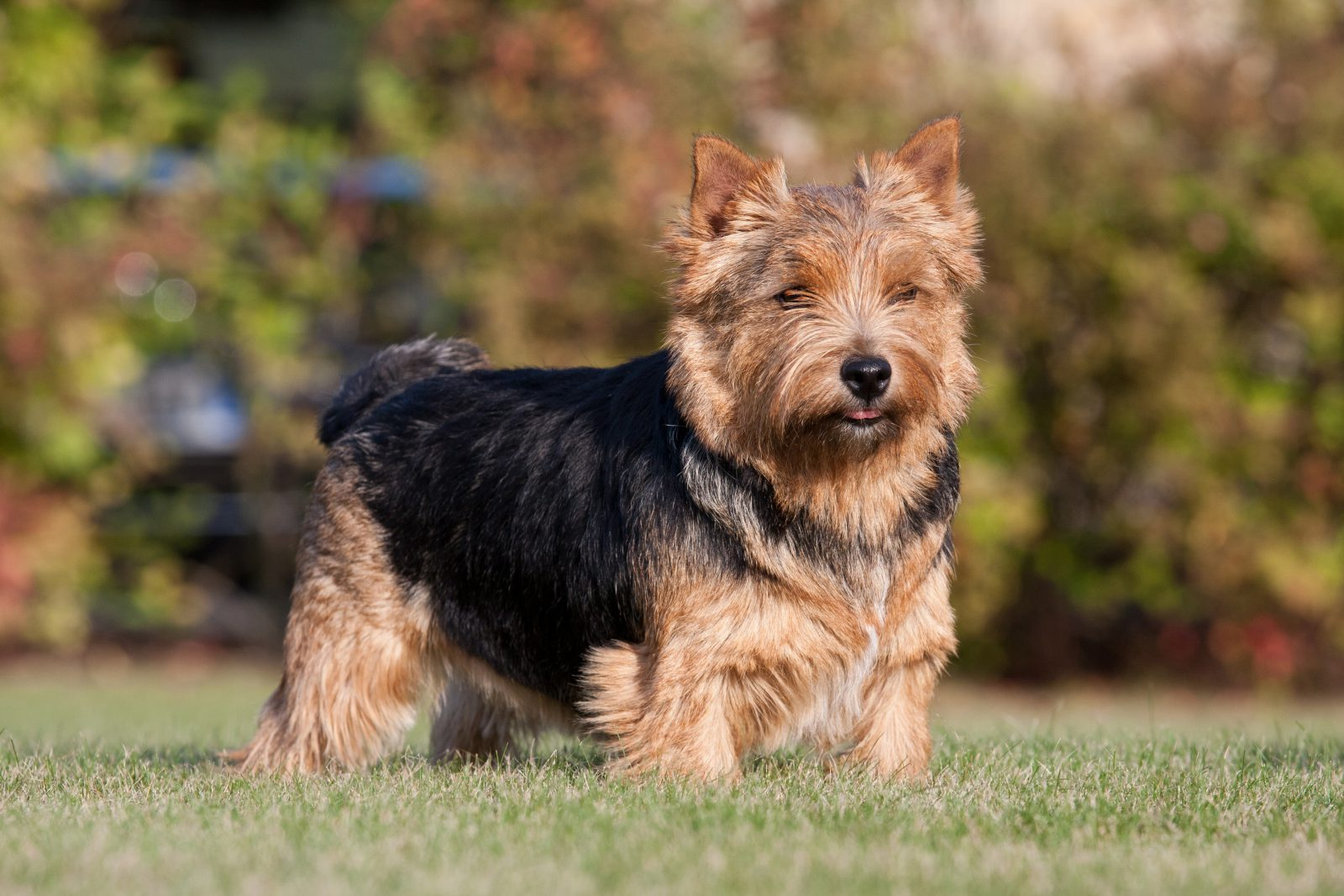 Cachorros de pequeno porte: Norwich Terrier brincando no jardim.