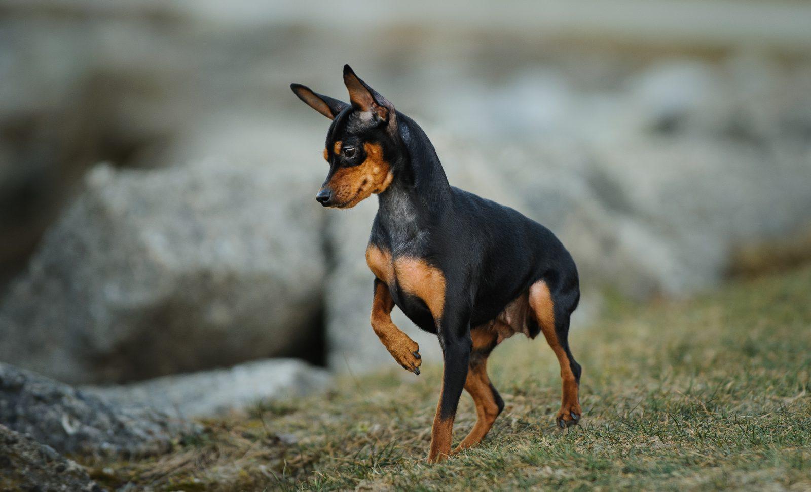 Cachorros de pequeno porte: Pinscher Miniatura brincando no parque.