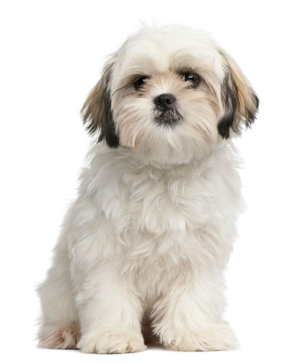 Cachorros de pequeno porte: Poodle Toy filhote branco e castanho.