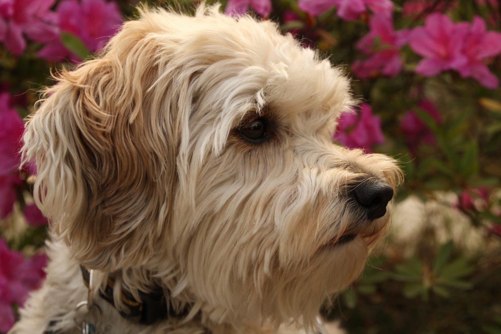 Cachorros de pequeno porte: Schnoodle fofinho no jardim de casa.