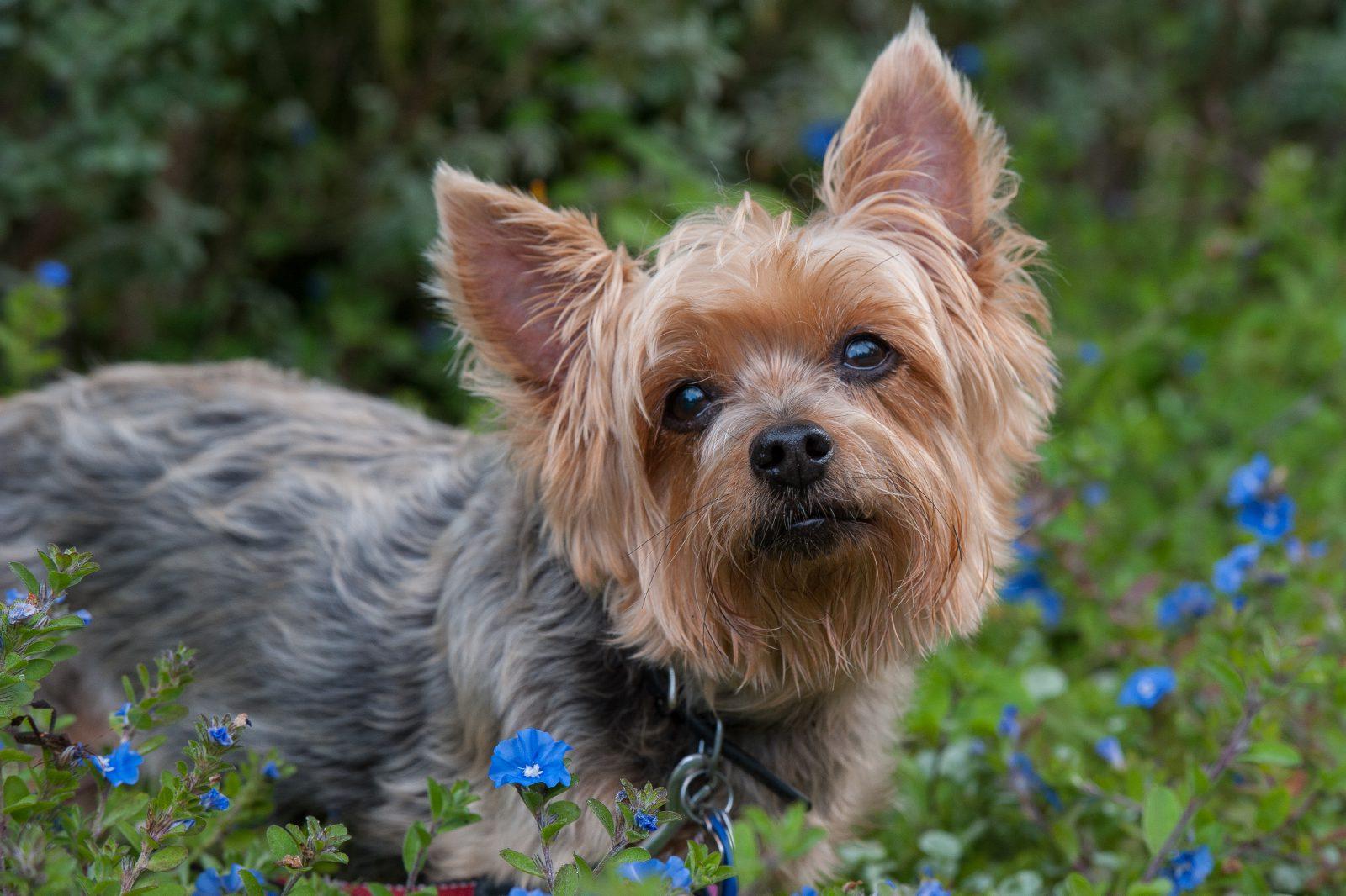 Cachorros de pequeno porte: Silky Terrier escondido entre as flores do jardim.