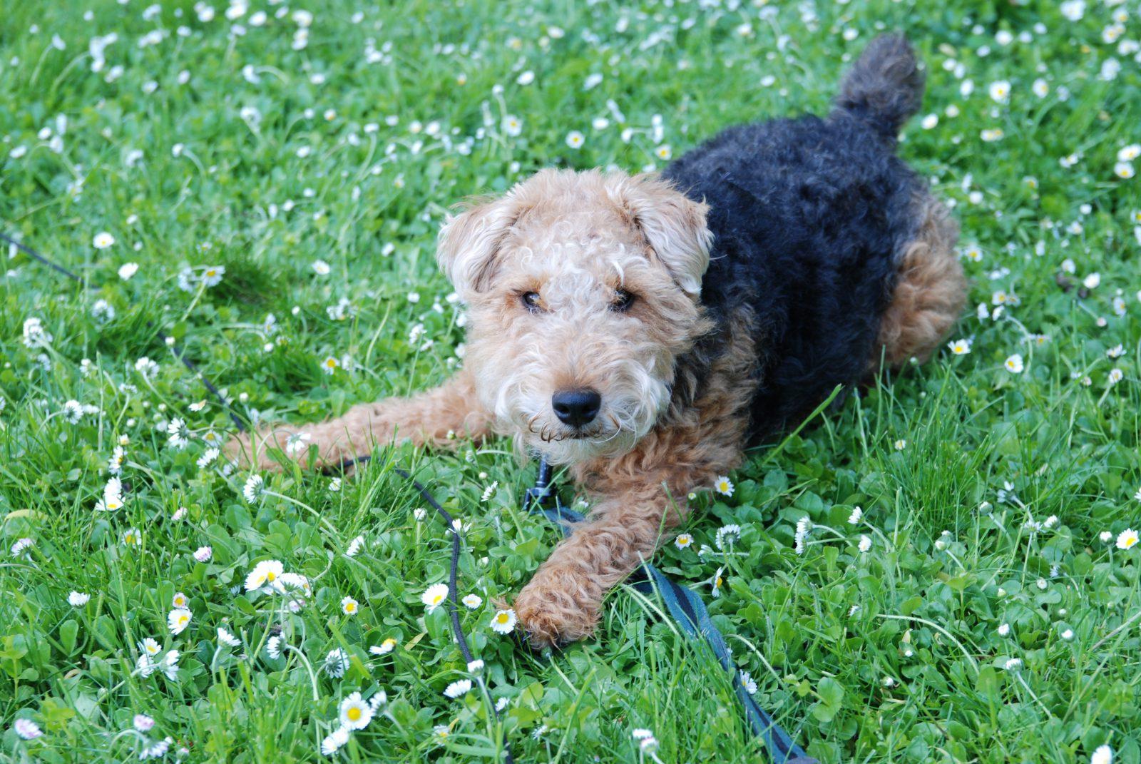 Cachorros de pequeno porte: Welsh Terrier deitado na grama do jardim.