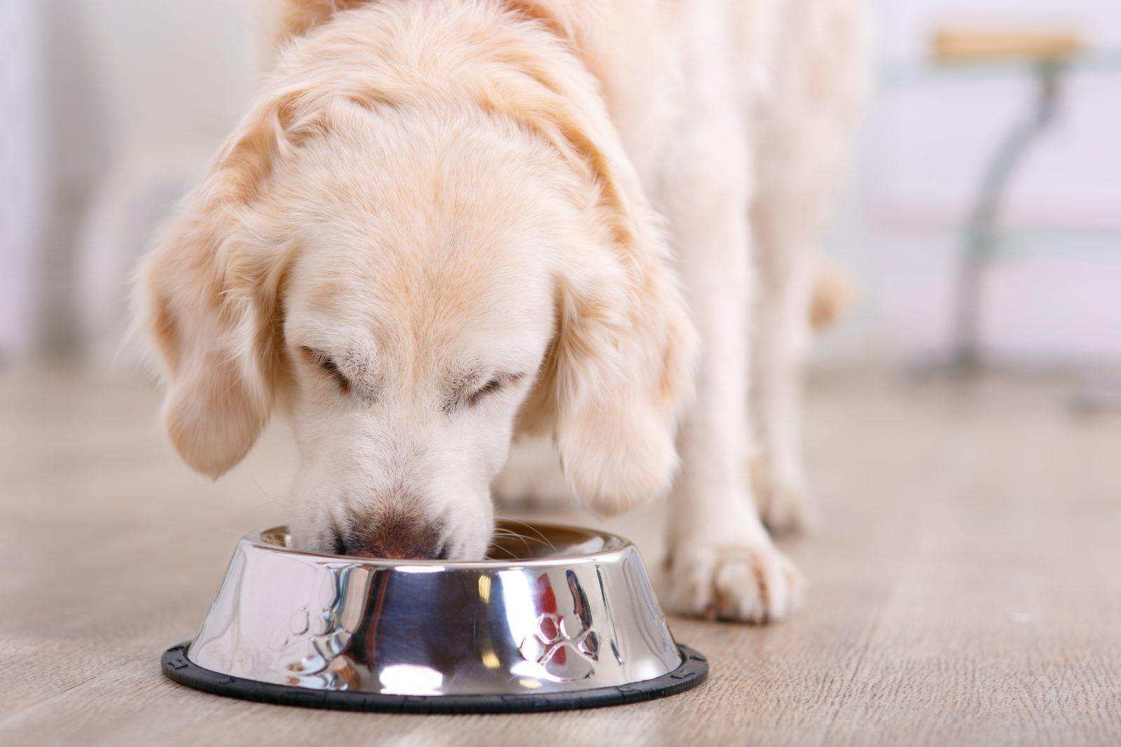 Ração para cachorro: Labrador retriever se alimentando de dieta mista