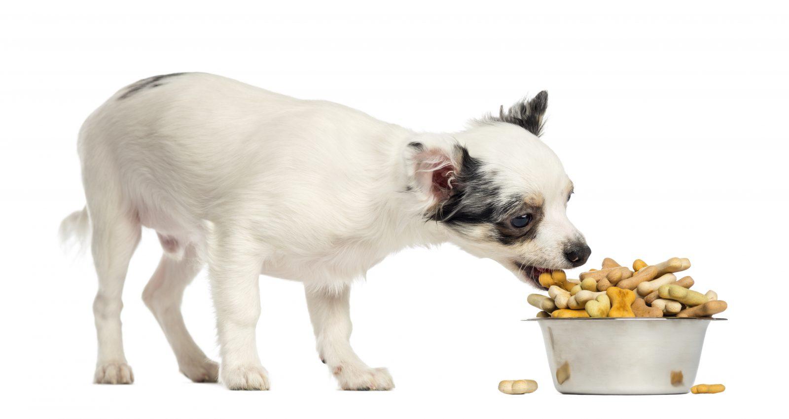cachorro comendo ração para cachorro industrializada.