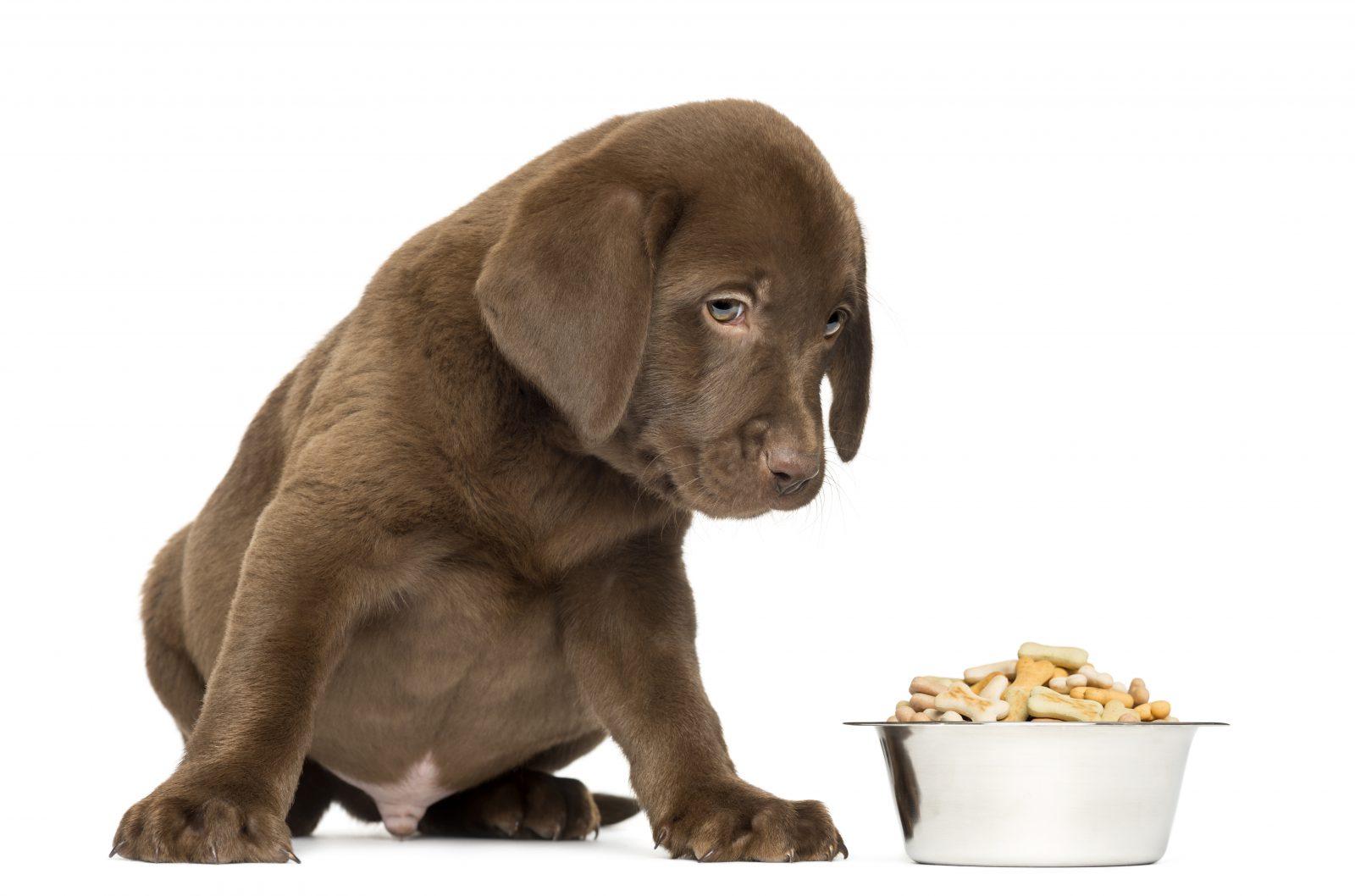 Ração para cachorro: filhote de labrador retriever chocolate olhando para pode de ração cheio à sua frente.