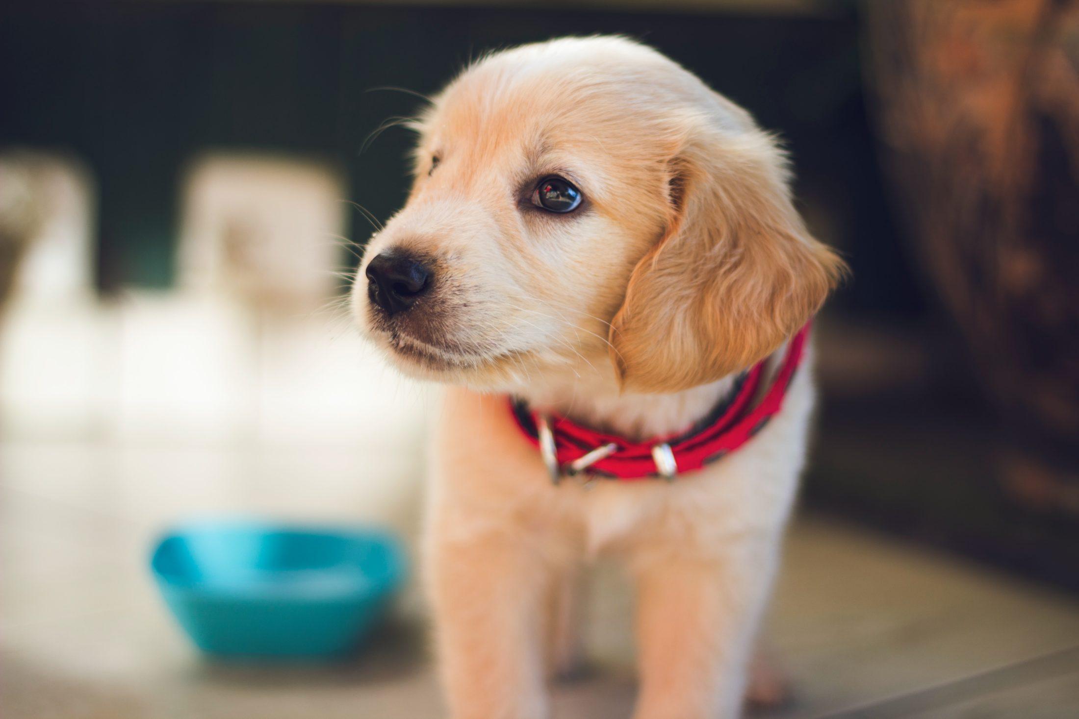 ração para cachorro fihote de labrador
