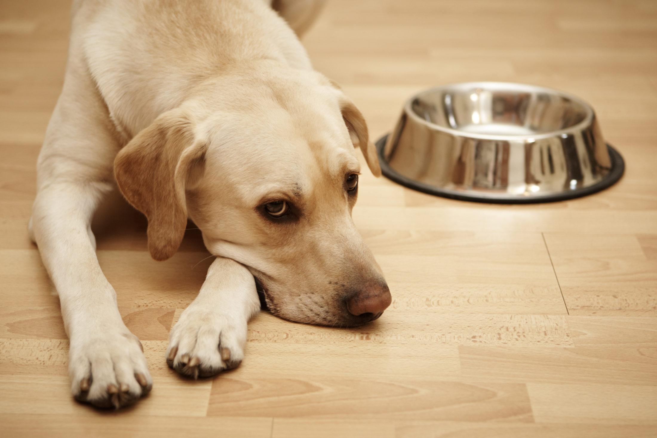 labrador sem apetite para comer a raçao para cachorro idoso