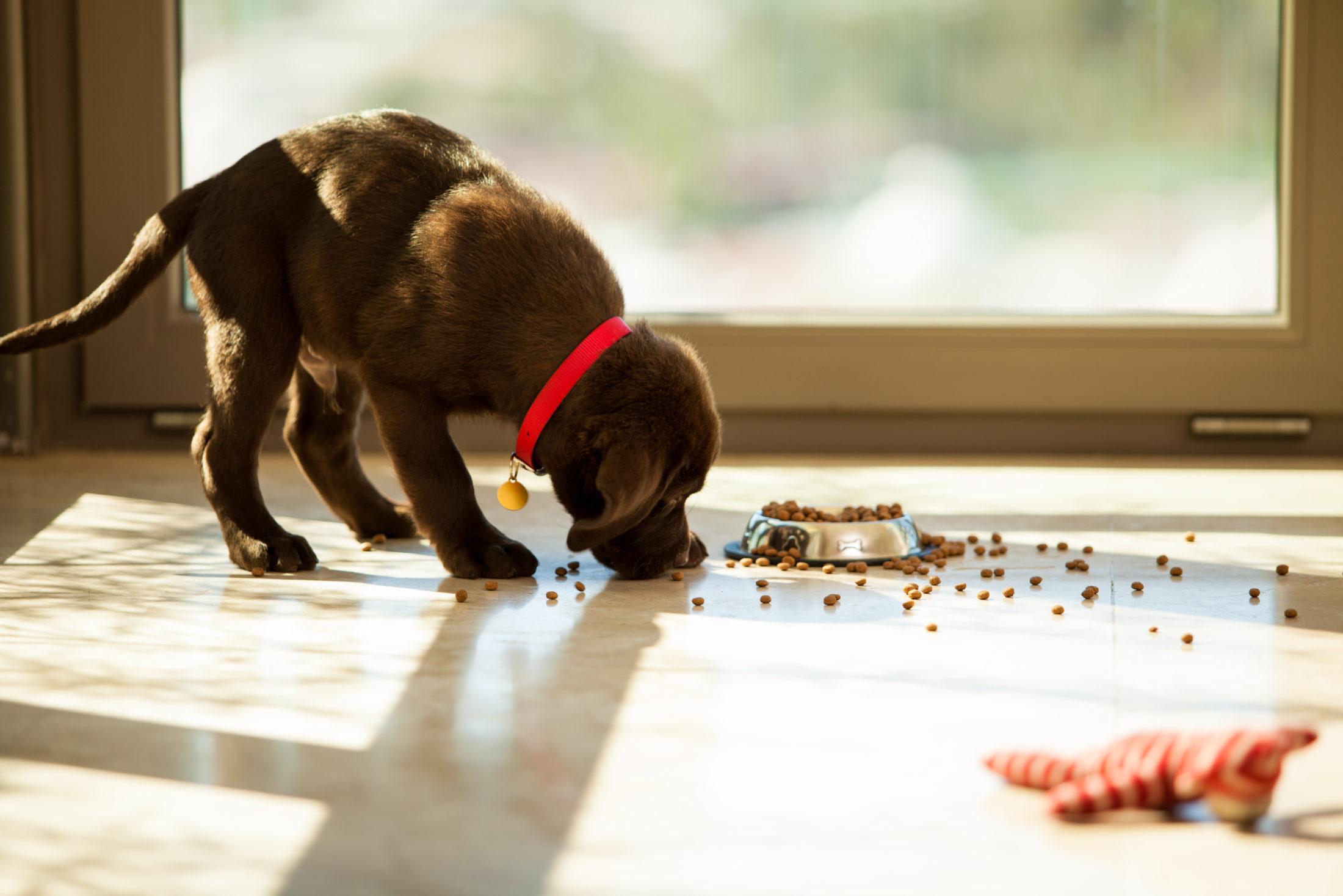 filhote de labrador marrom comendo ração para cachorros seca