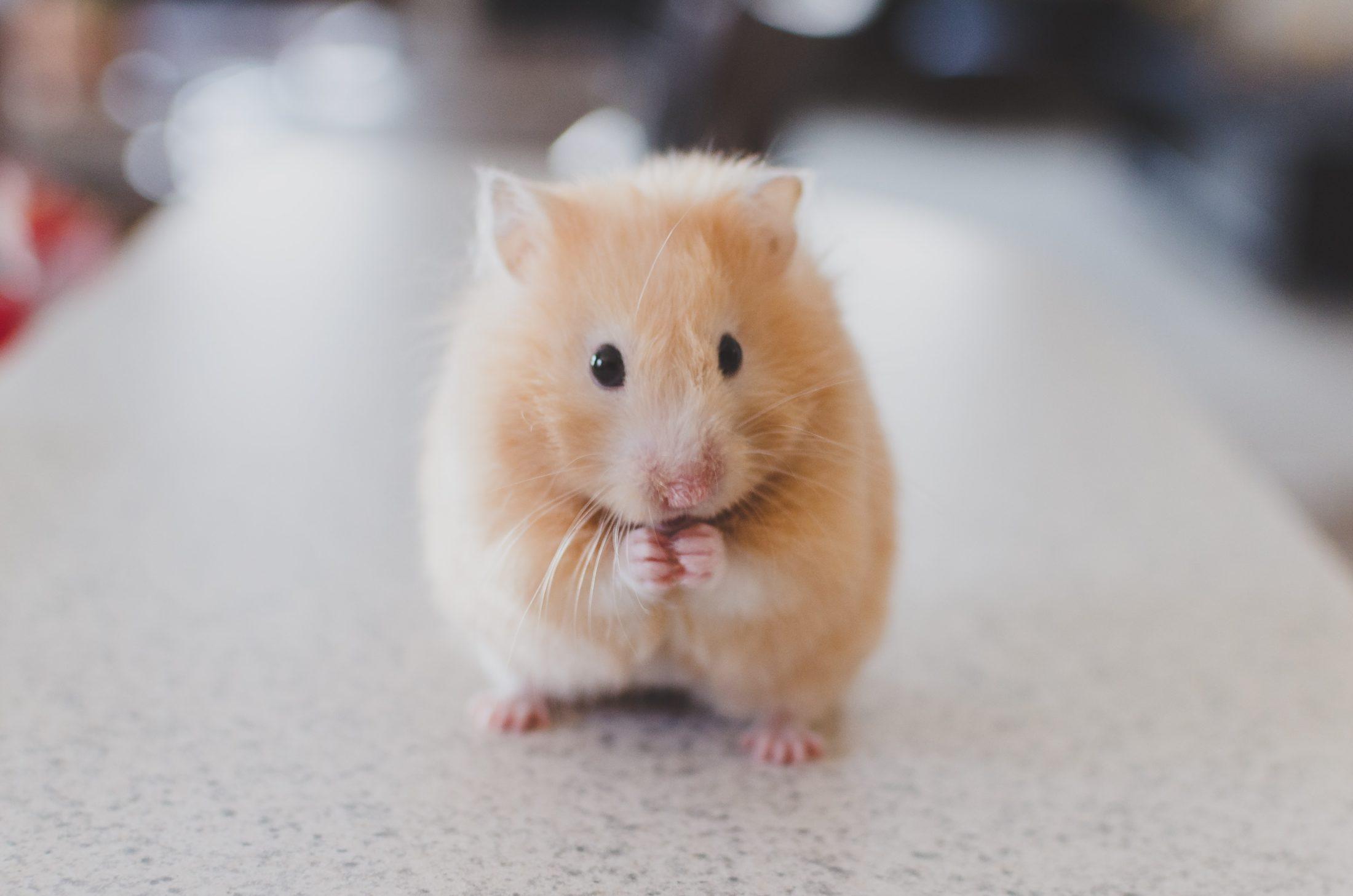 A ração para hamster é fundamental para a saúde do animal.