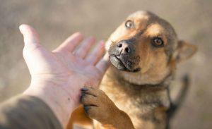 Cachorro abandonado: pastro alemão adulto estendendo a pata para seu dono.