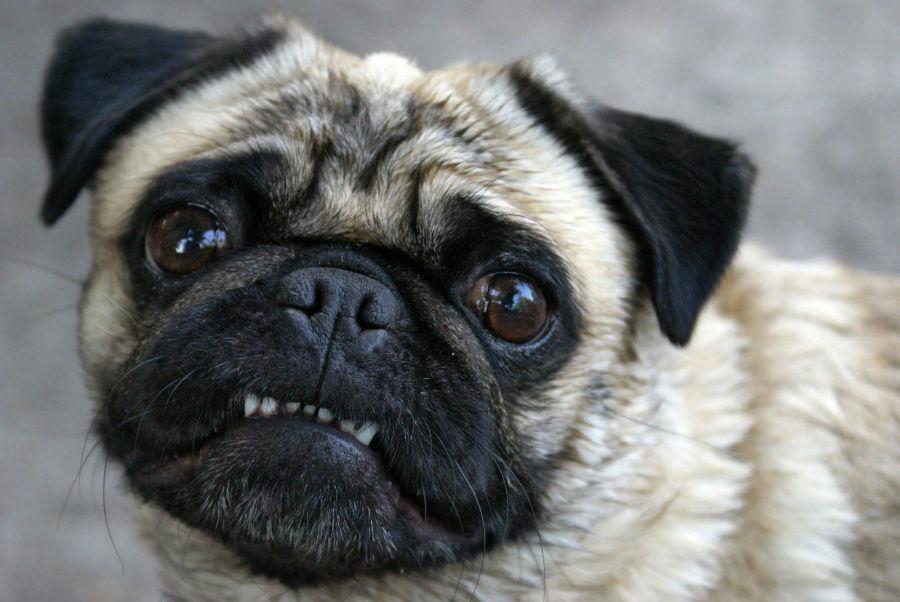 racas-braquicefalicas-dentais