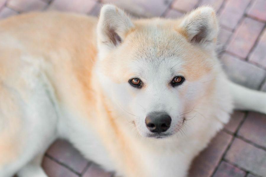 Cachorro abandonado: Akita deitado no chão com seu olhar penetrante e pelagem exiberante