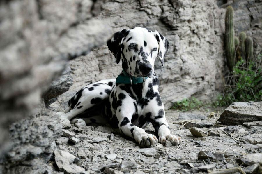 Cachorro abandonado: Lindo Dálmata deitado em meio as pedras da montanha
