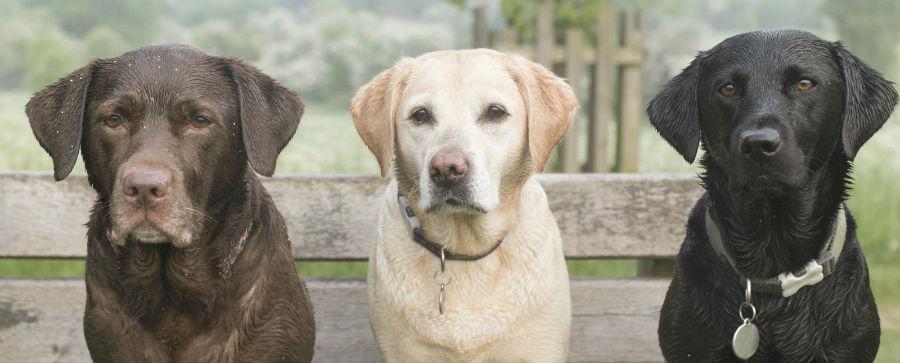rCachorro abandonado: Trio de Labradores nas três cores disponíveis da raça - preto, chocolate e amarelo.