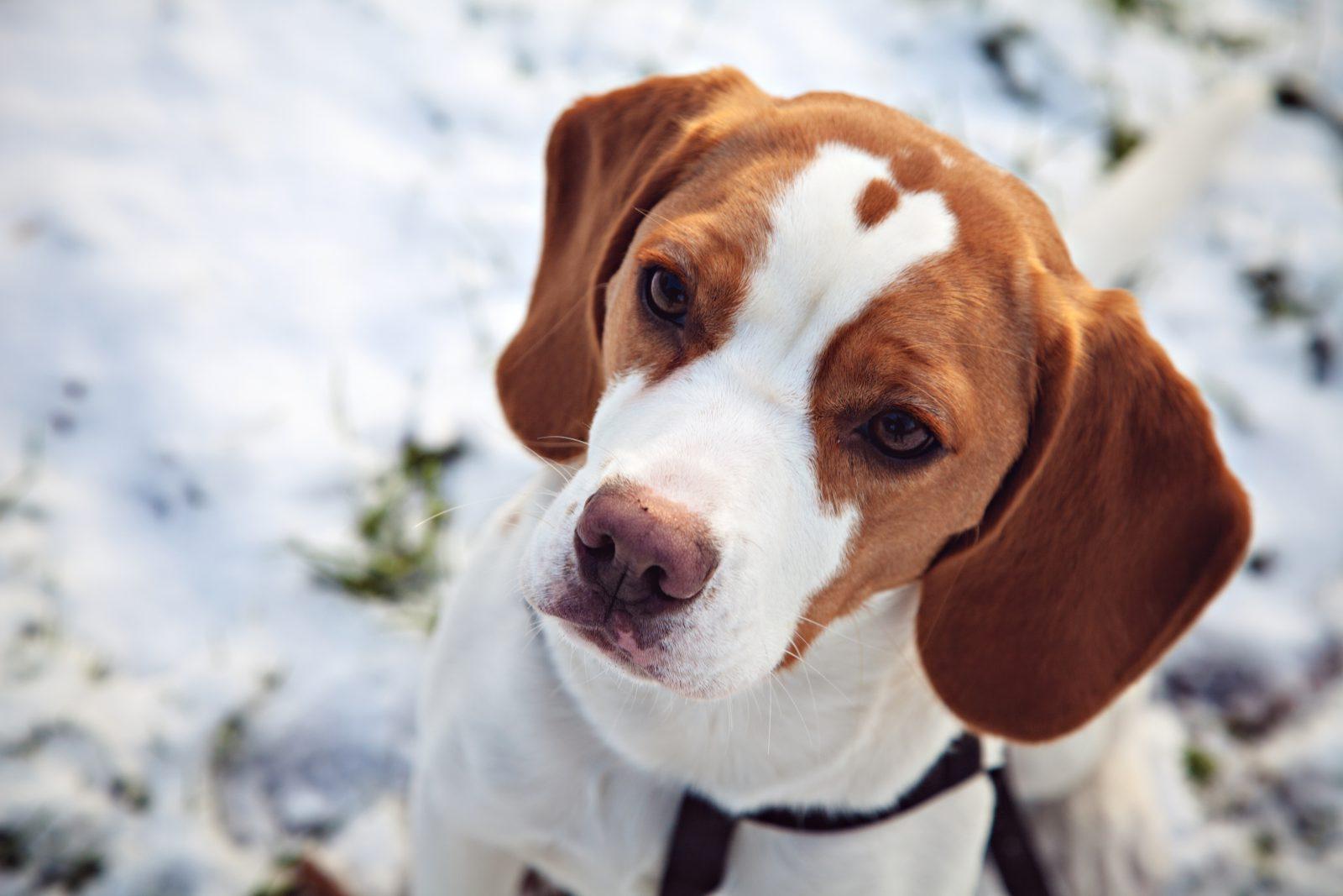 Cachorro latindo: Beagle branco e castanho com olhar fixado em seu dono dando toda a sua atenção.