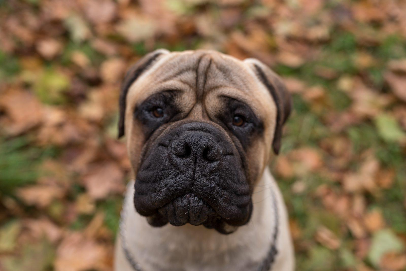Cachorro latindo: Bulmastife no jardim em meio as folhas de outono.