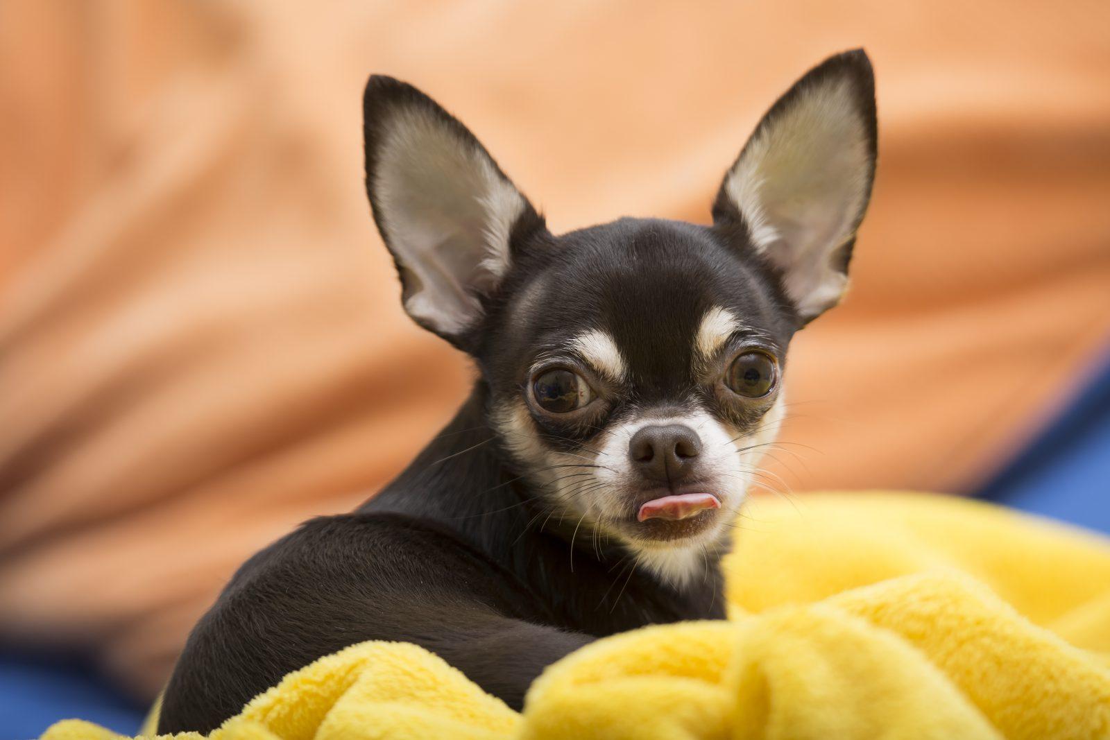 Caachorro latindo: Chihuahua deitado entre cobertas fofinhas e confortáveis.