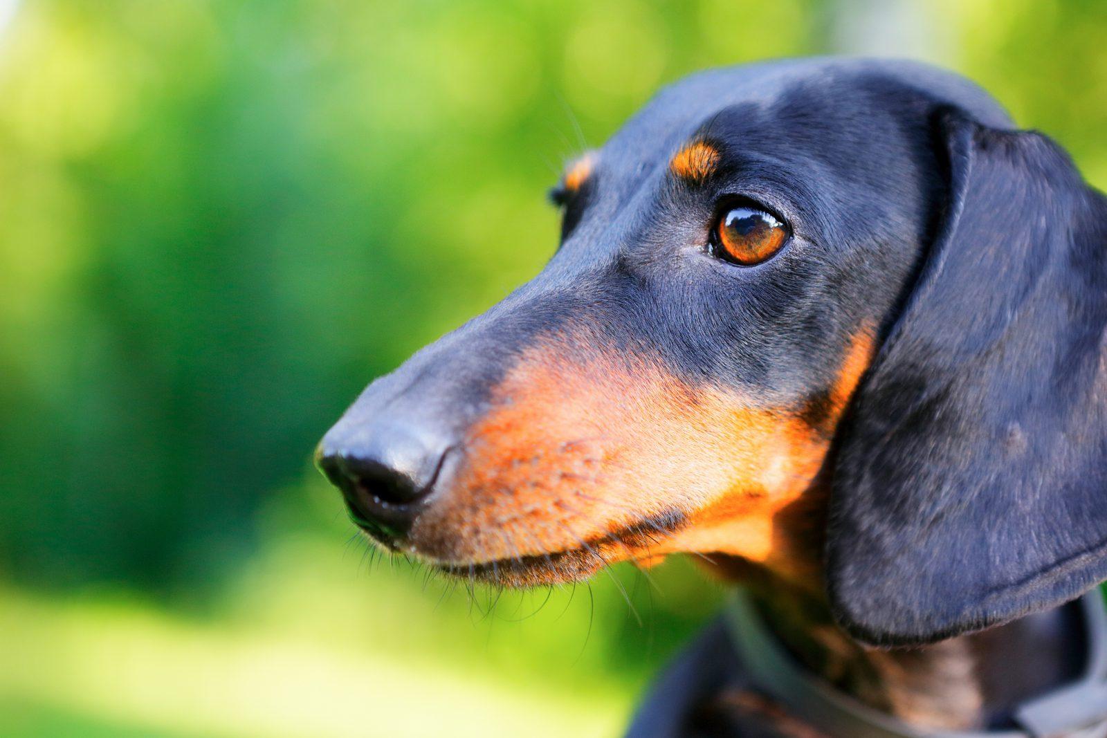 Cachorro latindo: Dachshund preto e castanho com seu perfil peculiar e focinho longo.