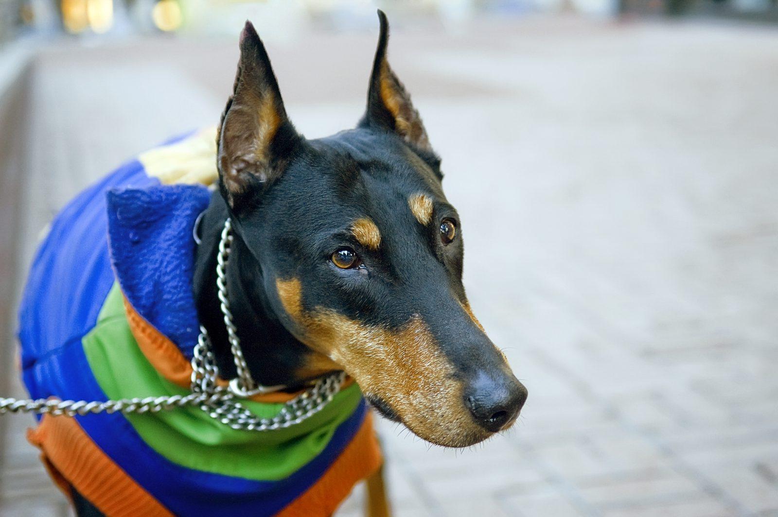 Cachorro latindo: Doberman adulto passeando de coleira e roupa fashion.