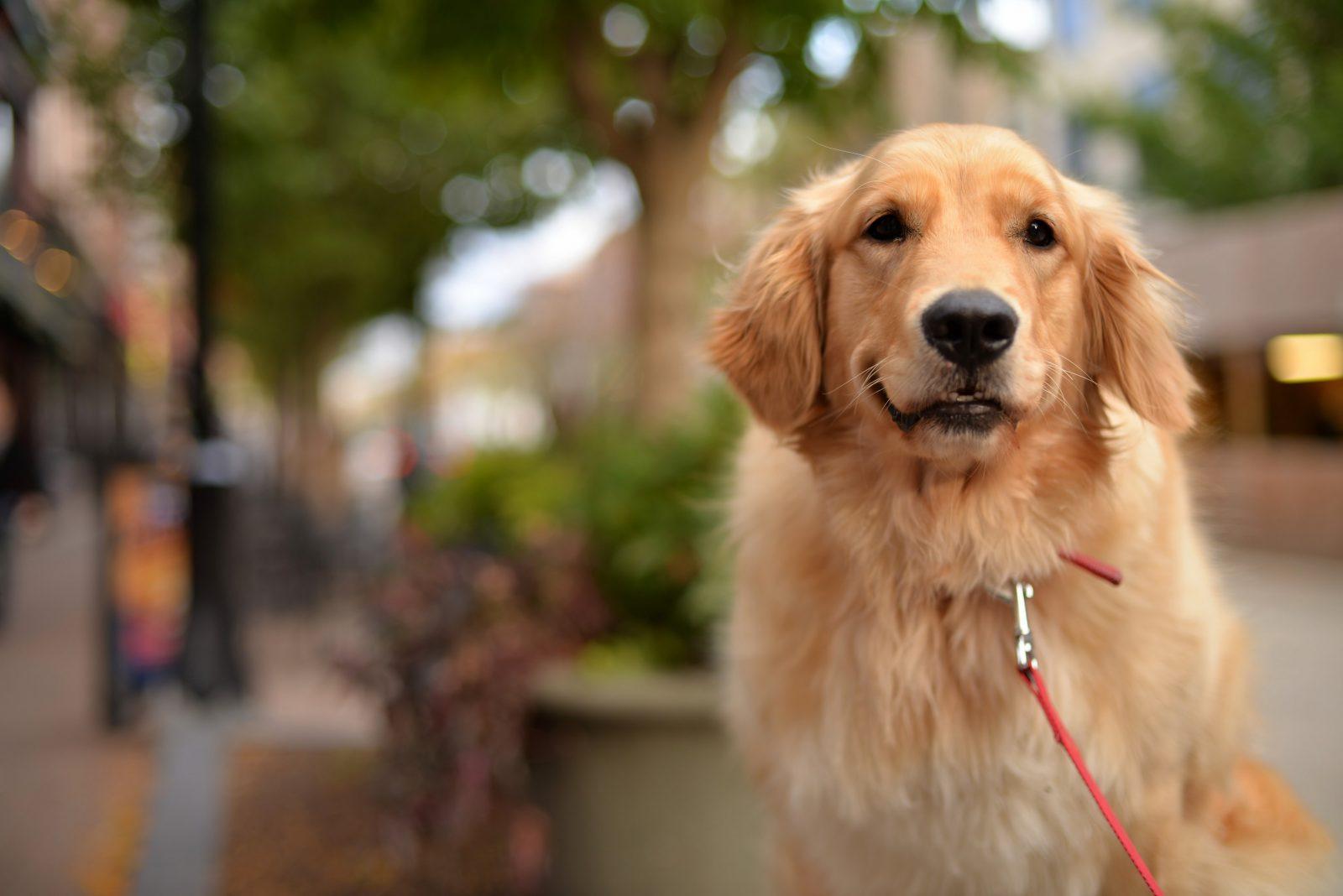 Cachorro latindo: Golden Retriever passeando na coleira com seu dono na rua.