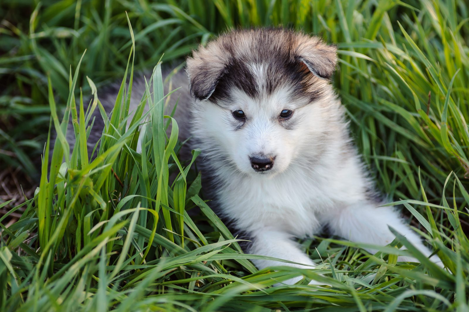 Cachorro latindo: Malamute do Alaska filhote deitado no gramado.