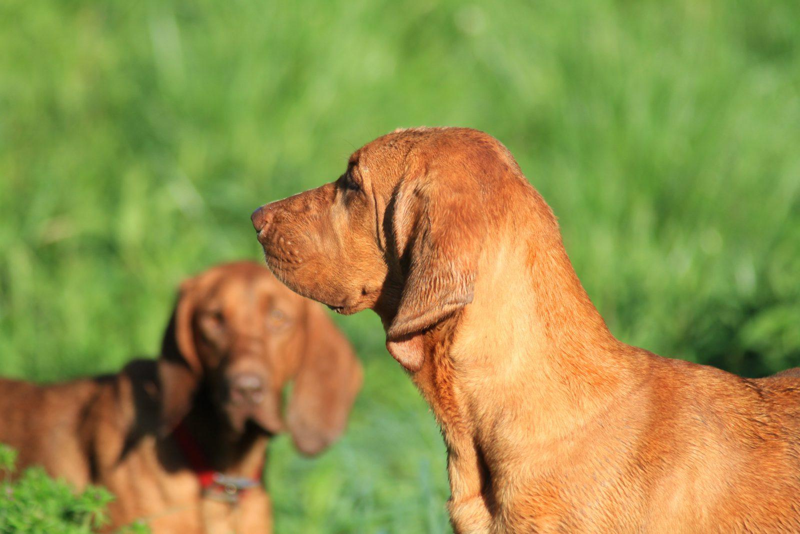 Cachorro latindo: Redbone Coonhound e filhote no jardim brincando juntos.