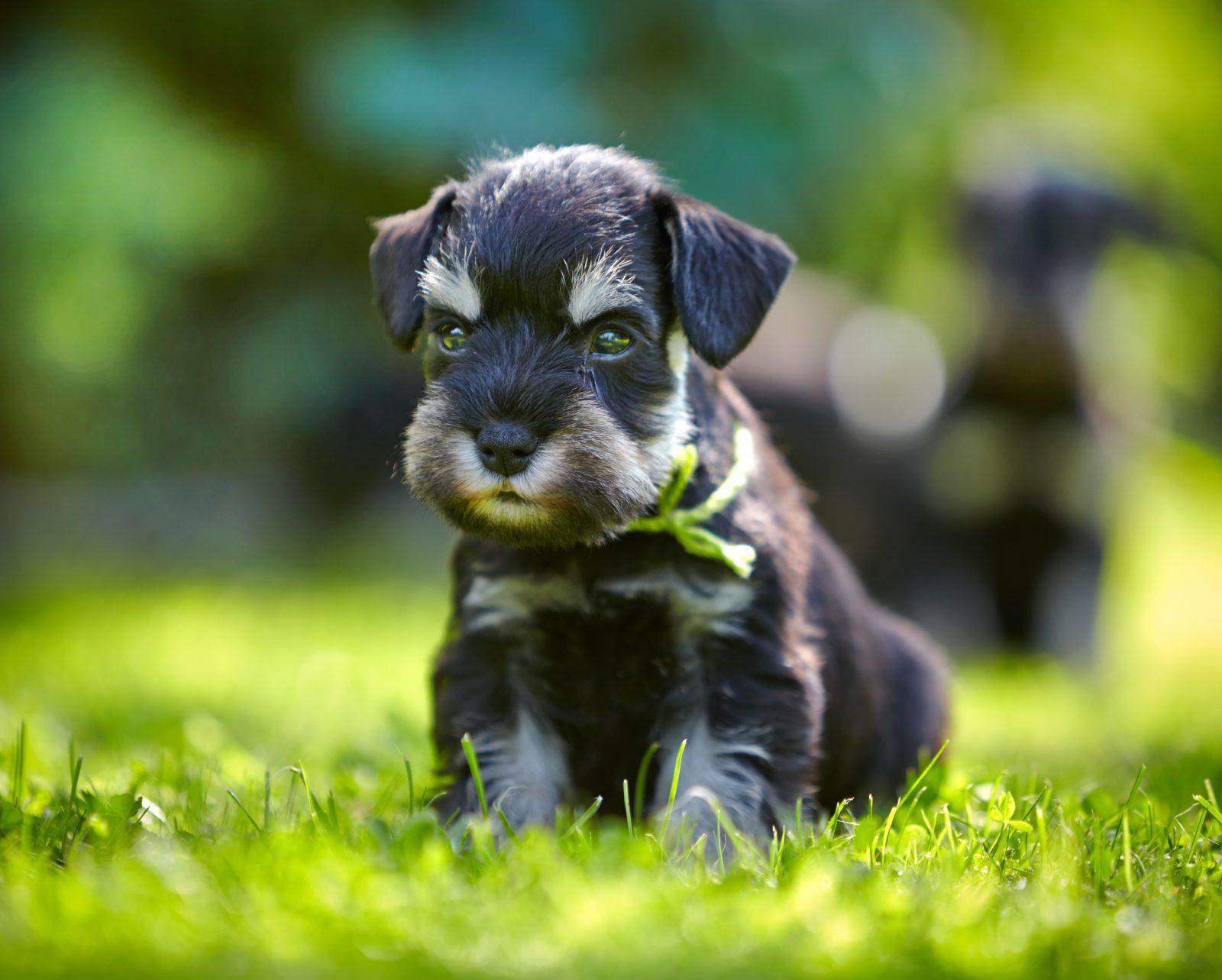 Cachorro latindo: Schnauzer miniatura filhote no gramado do jardim.