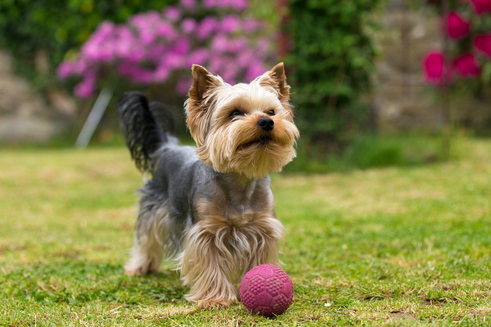 Cachorro latindo: Yorkshire Terrier filhote brincando com bolinha no jardim.