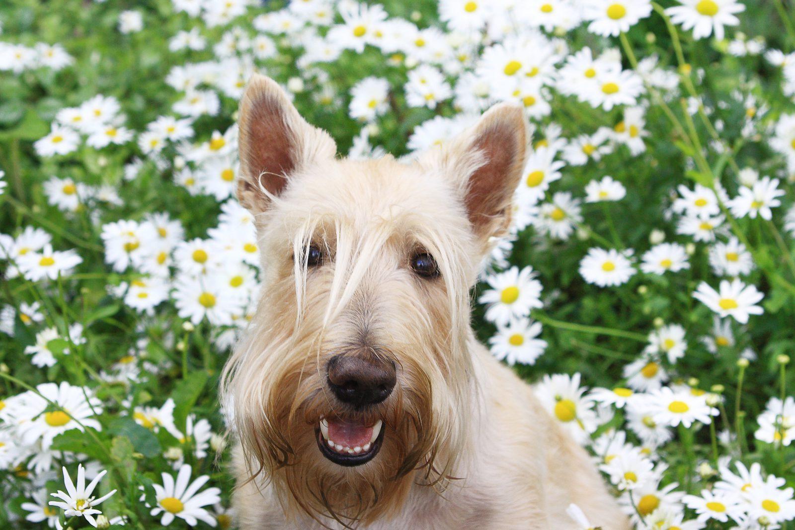 Cachorro latindo: Terrier Escocês no meio das flores do jardim.