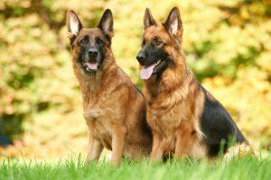 Raça de cachorro mais fiel: Dupla de pastores alemães no gramado do parque esperando por comandos.