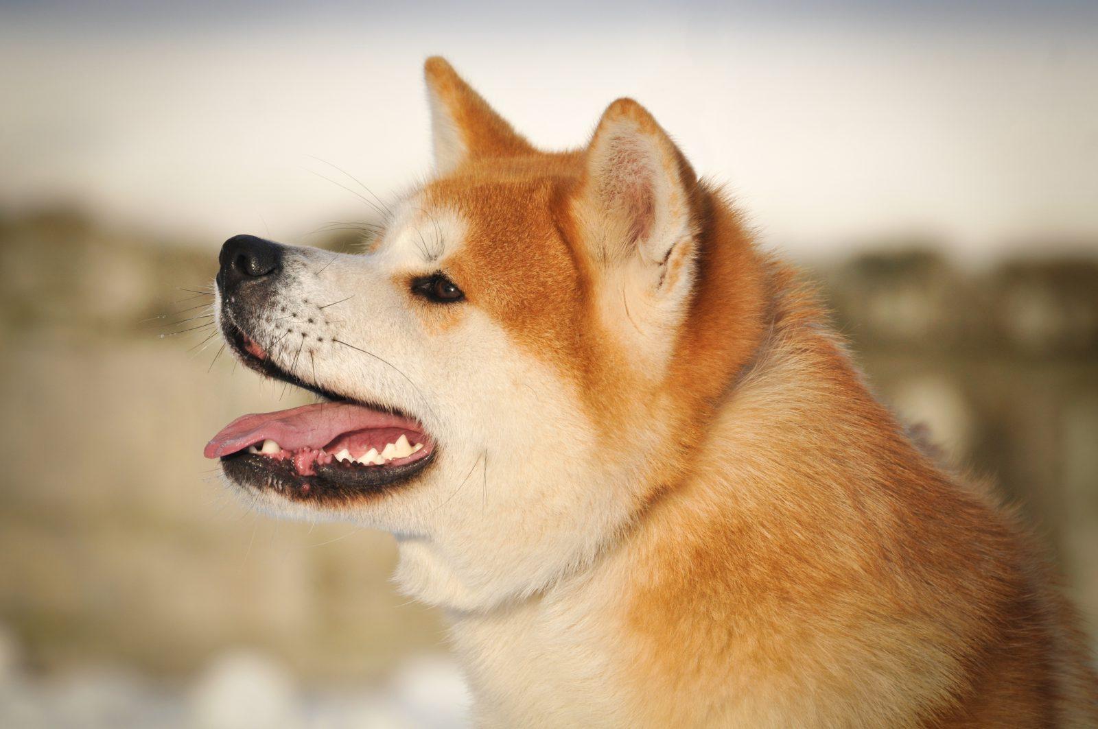 Raça de cachorro mais fiel: Akita Inu em seu ambiente favorito: a neve.