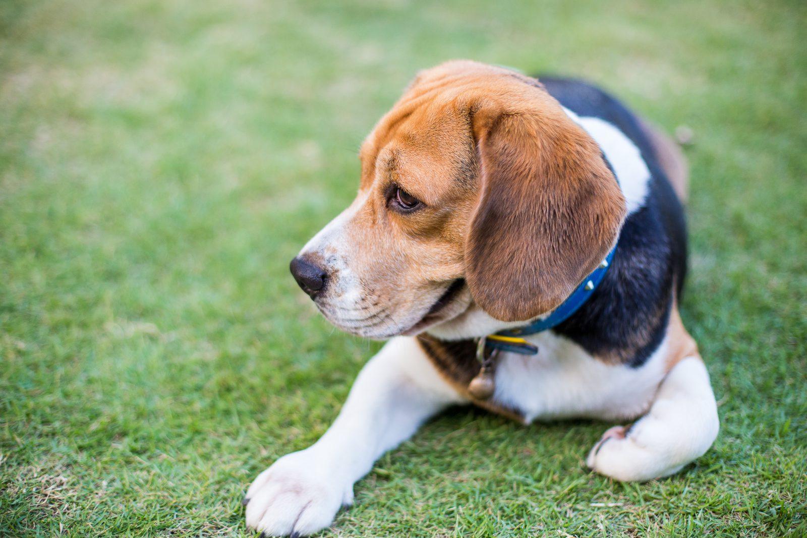 Raça de cachorro mais fiel: Beagle filhote brincando no gramado do jardim.