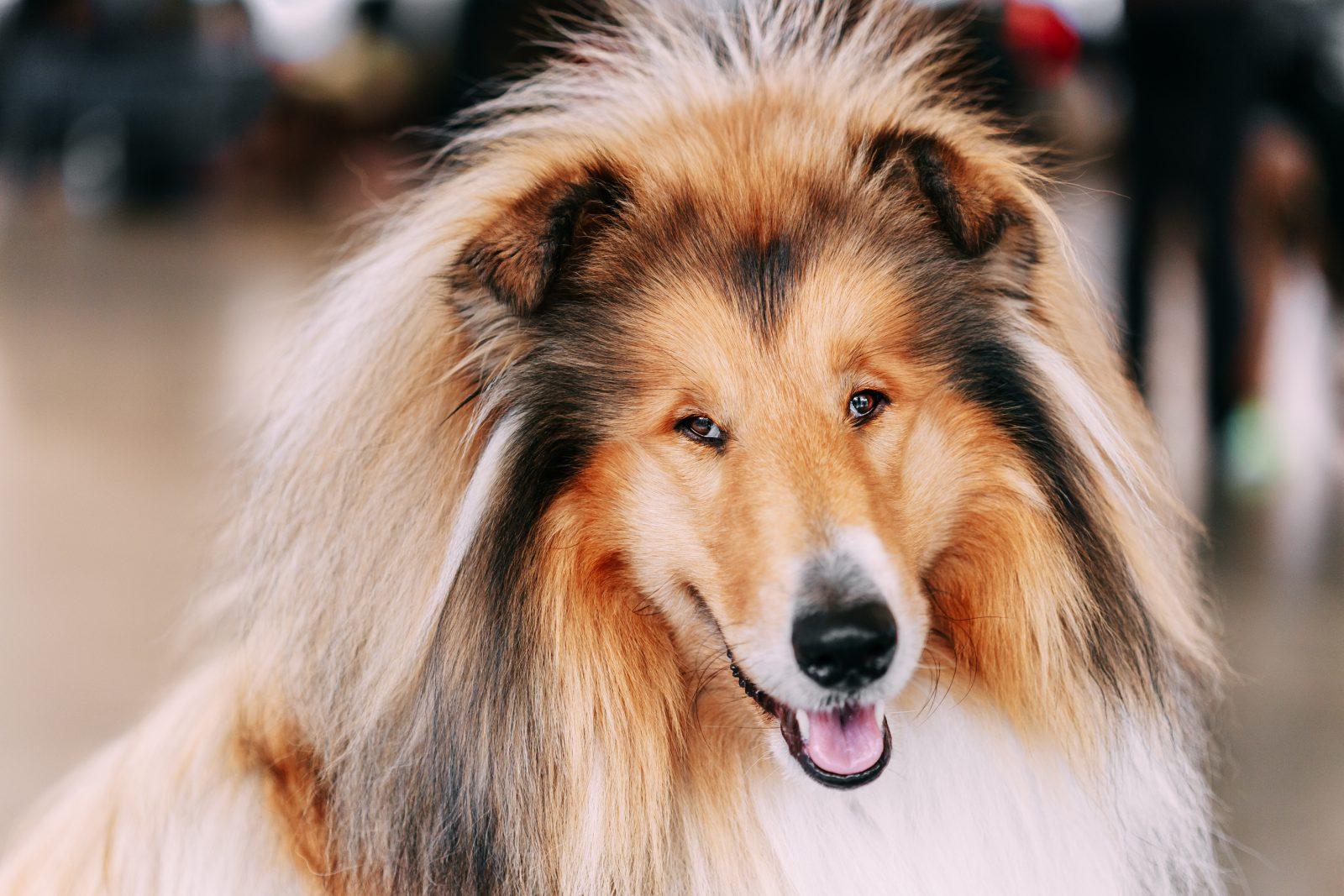 Raça de cachorro mais fiel: Collie com sua disposição alegre, sorriso no rosto e pelagem esvoaçante.