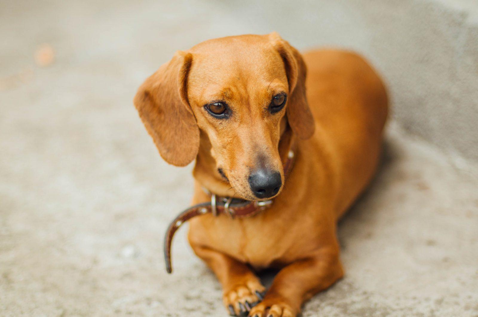 Raça de cachorro mais fiel: Dachshund adulto esperando para passear.