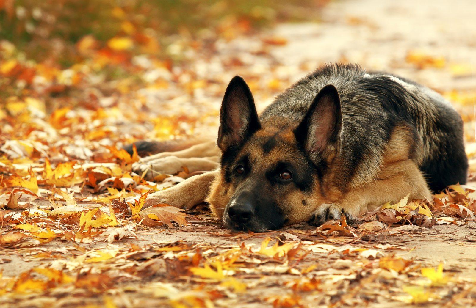 Raça de cachorro mais fiel: Pastor Alemão deitado sobre as folhas douradas de outono.