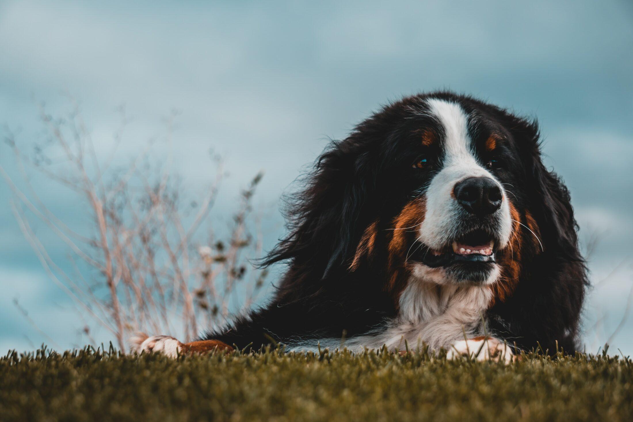 racas de cachorro faceis de treinar - bernese