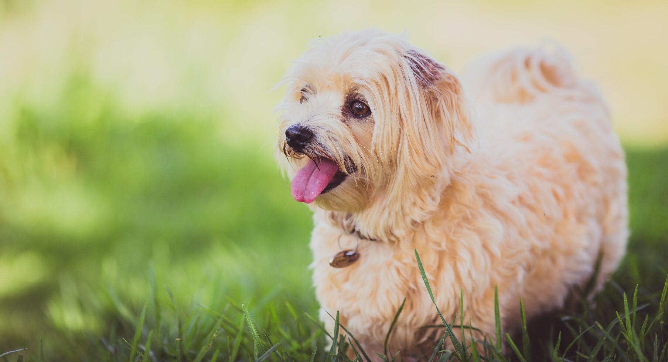racas de cachorro faceis de treinar - maltes