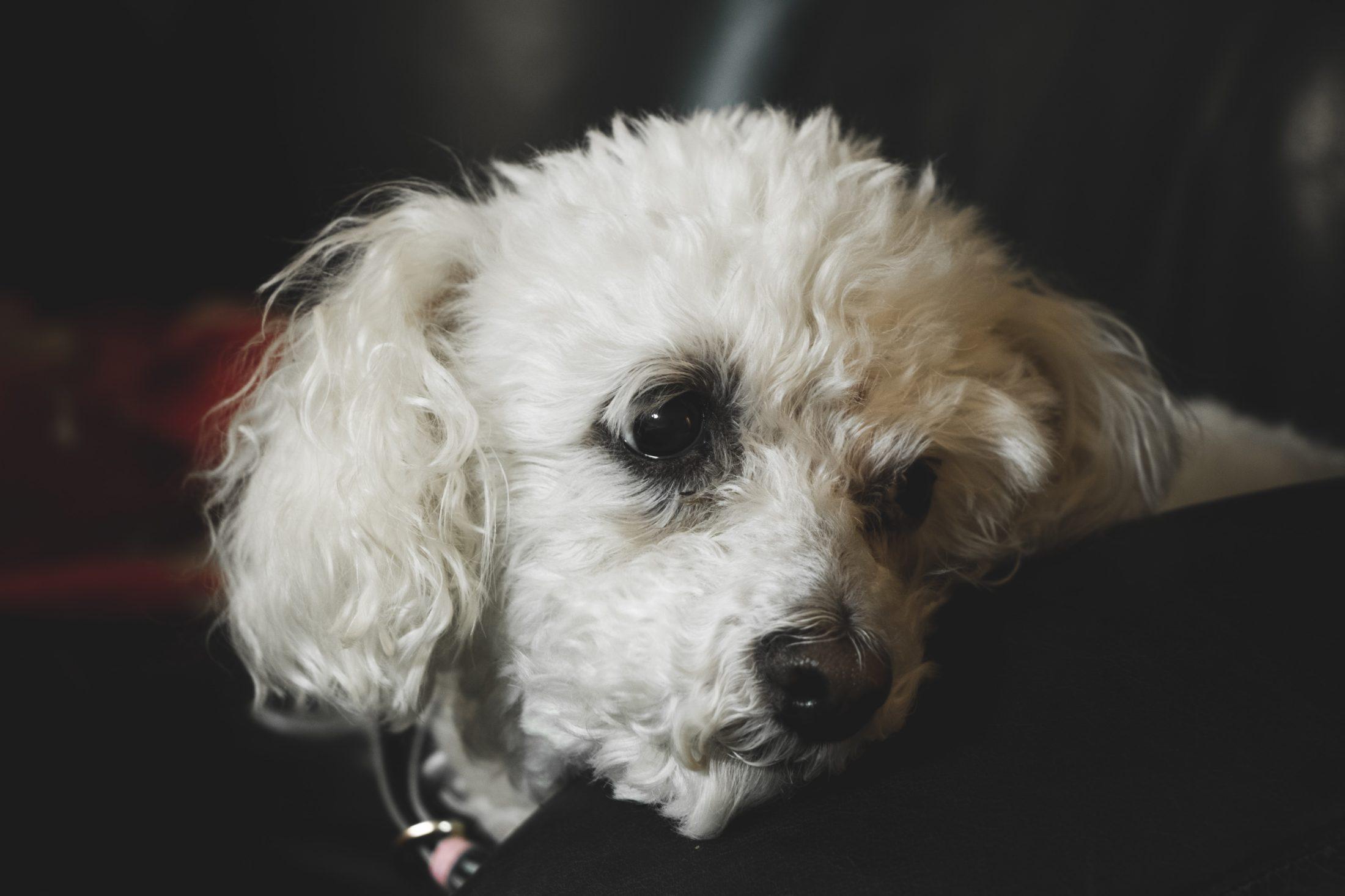 racas de cachorro medio bichon frise
