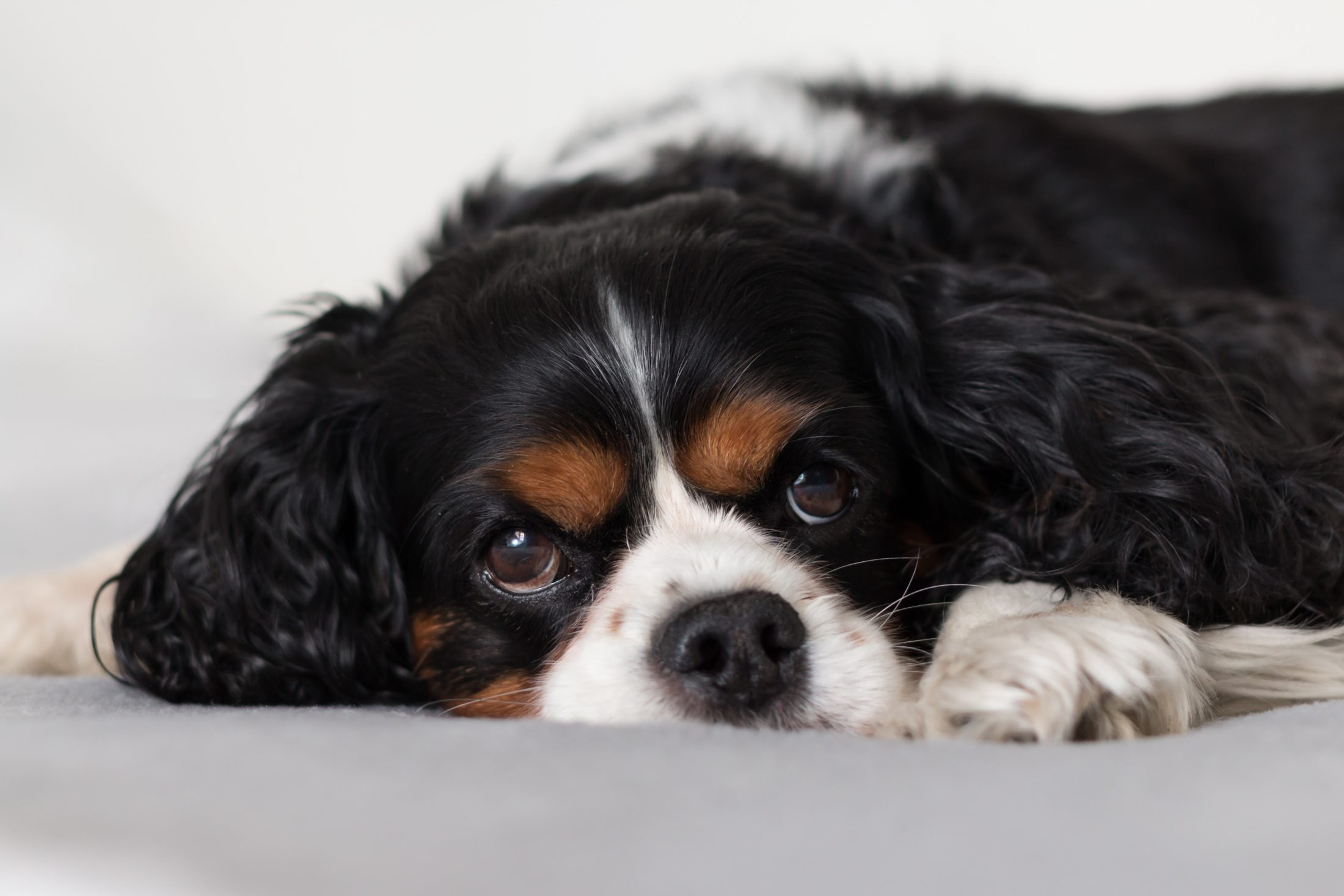 racas de cachorro medio cocker spaniel
