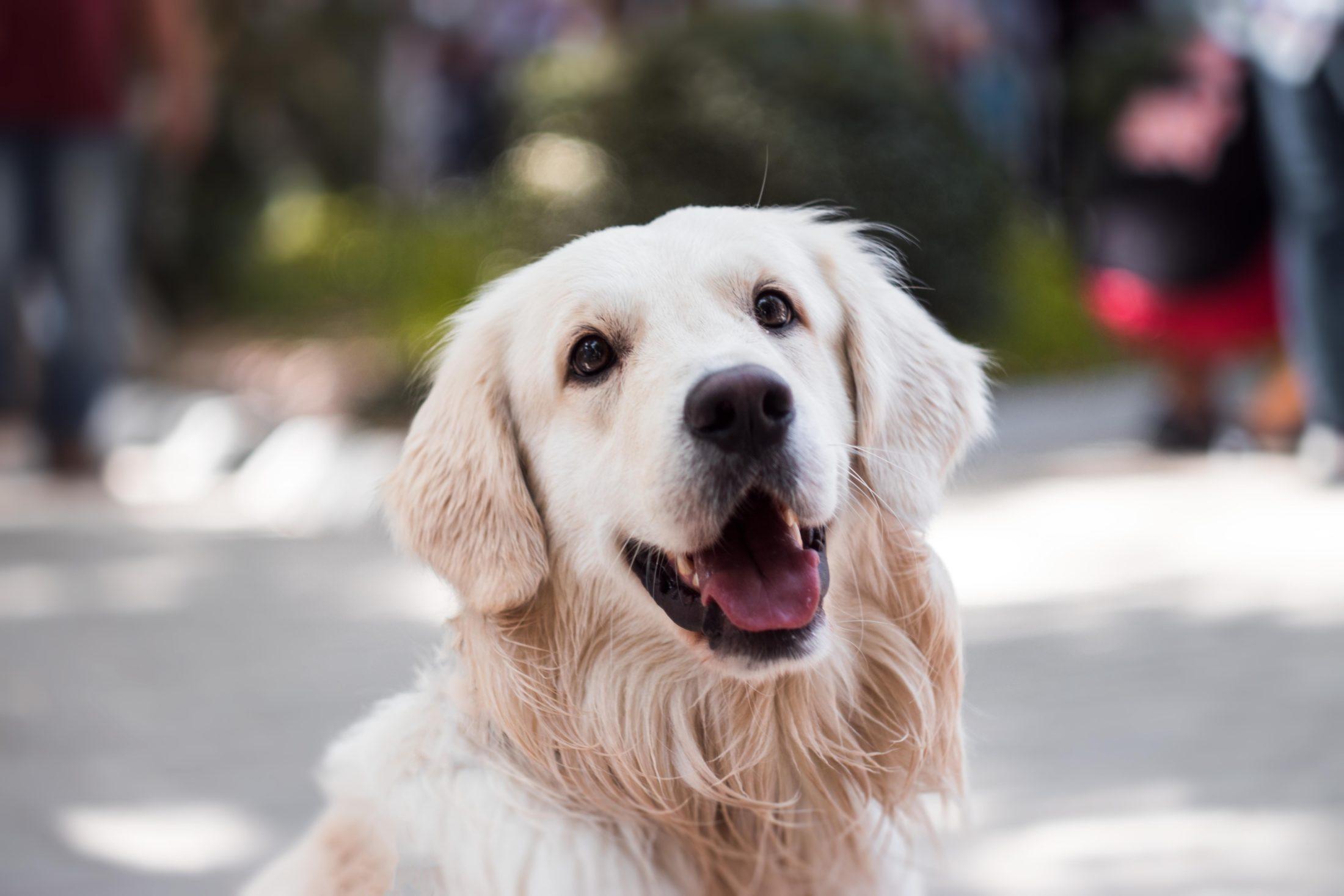 racas de cachorro grande golden retriever