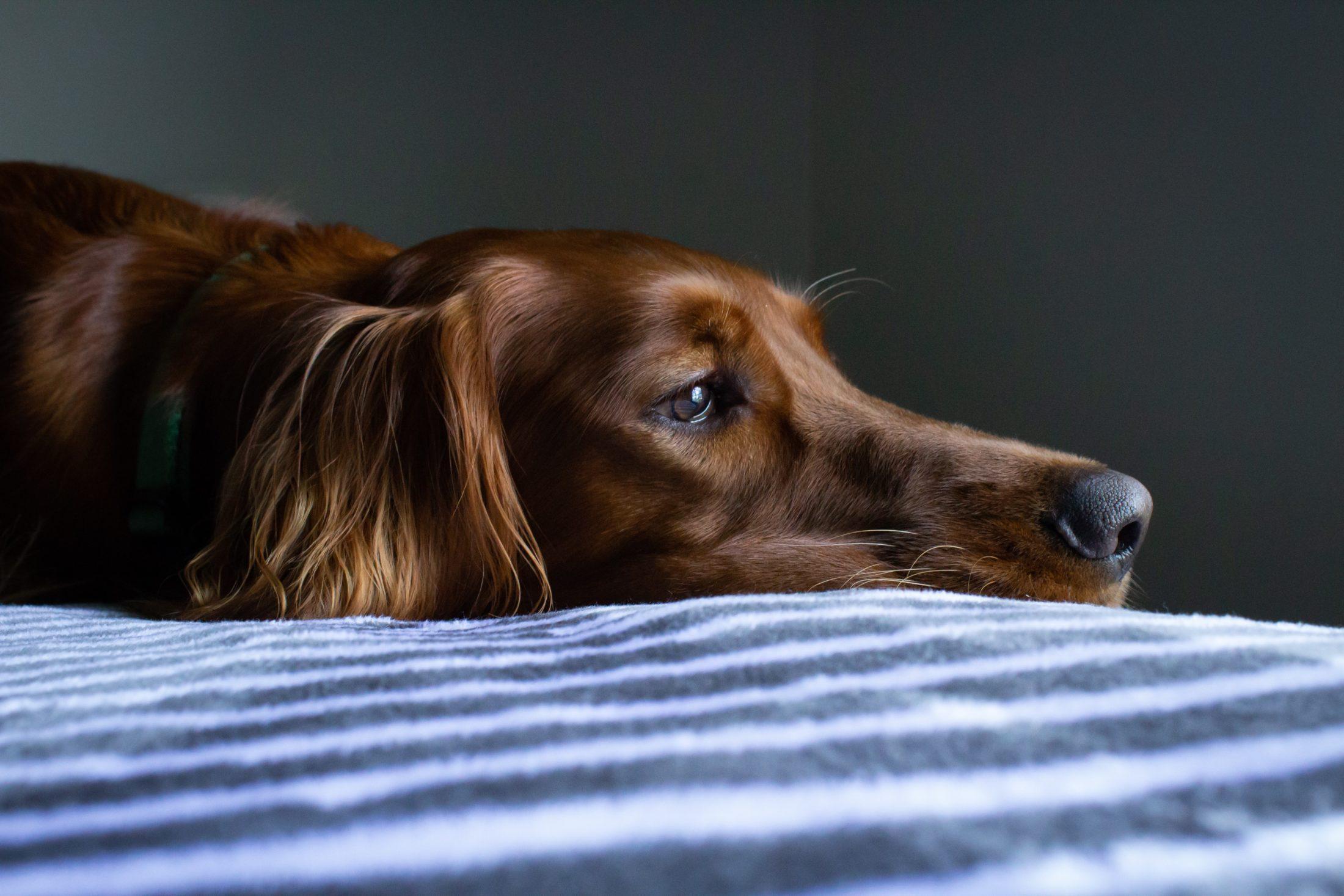 racas de cachorro grande setter irlandes