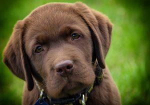 Cão guia: Filhote de Labrador Retriever chocolate