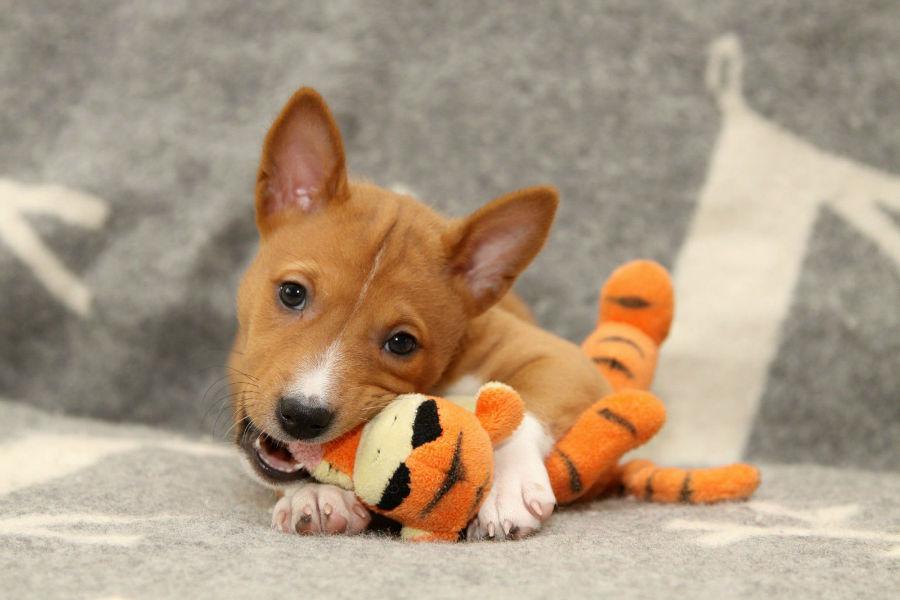 Raças de cachorro hipoalergênicas: Filhote de Basenji brincando com bichinho de pelúcia